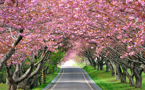 TRACK, Sakura, tonic, has, fatigue, impact, blooming, ALLEY, removes, image, cherry, road, landscape