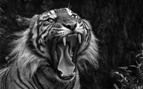 пасть, клыки, чб, тигр