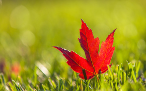 maple, burgundy, red, list, autumn, grass