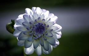 макро, фокус, георгин, голубые, Цветок, белые, лепестки