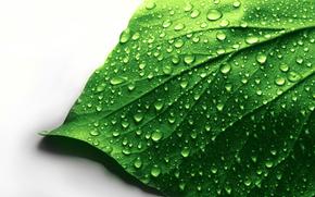 макро, белый фон, капли, лист, зеленый, вода