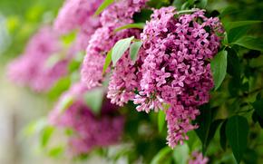 природа, сирень, фокус, листья, весна, цветы, ветки, размытость