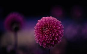 малиновый, Георгин, фокус, макро, фон, лепестки, цветок, фиолетовый