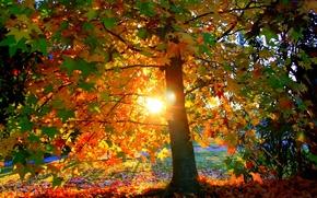 chiaro, albero, fogliame, tramonto, autunno, sole, fogliame, parco