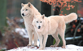 white, view, Wolves, nature, snow, Snout, predator, Arctic