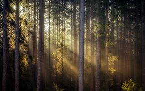 morning, nature, forest, light