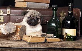 мопс, бутылки, собака, чемодан, книги