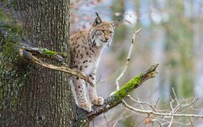 branch, cat, moss, tree, lynx