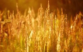 naturaleza, sol, verano, mazorcas de maíz, puesta del sol