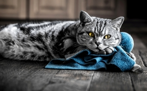 color, yellow, blue, cat, COTE, eyes, cloth, Gray, striped