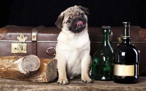 собака, бутылки, чемодан, полено, мопс