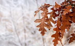 invierno, helada, nieve, marrón, árbol, deja, frío, Oak, temporada, en el bosque