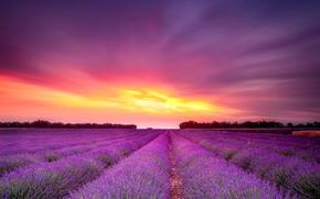 закат, цветы, лаванда, поле