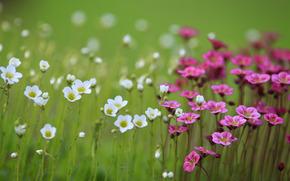 Flowers, field, blur, White, pink