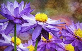 водяные лилии, цветы