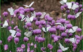 бабочки, природа, цветы, клевер