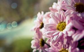 Widescreen, fullscreen, floret, PINK, Widescreen, flower, Macro, wallpaper, bokeh, degradation, background, Flowers