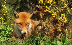 herbe, fox, été, Museau, voir, fox, Roux