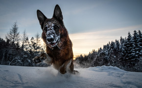 Немецкая овчарка, снег, зима, собака, лес