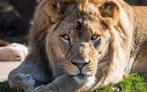 Muso, piedi, ricreazione, visualizzare, gatto predatore, leone