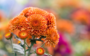 Crisantemo, natura, arancione, autunno, Fiori