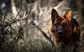dog, forest, German shepherd, view