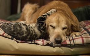 кошка, дружба, фон, собака