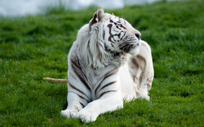 lying, tiger, grass, white, predator