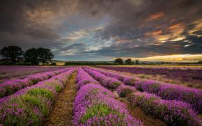 лаванда, Великобритания, закат, Англия, графство Хэмпшир, поле, облака, природа