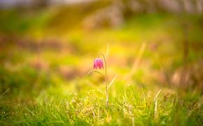 трава, цветок, боке