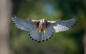 kestrel, wings, flight, swing, bird