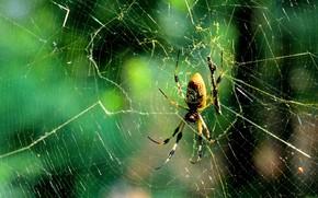 araña, web, Macro