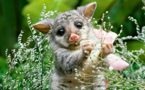 млекопитающее, растение, детеныш, природа, опоссум