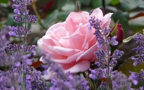 роза, лаванда, бутон