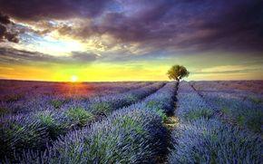 солнце, поле, цветы, закат, сиреневые, дерево, Франция, Прованс, лаванда