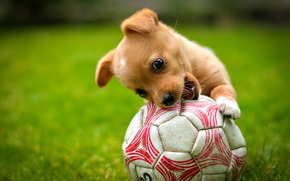рыжий, мяч, собака, игра, щенок, лужайка