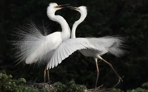 birds, dance, herons, White