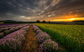Flores, naturaleza, campo, lavanda, Inglaterra, puesta del sol, Hampshire, Reino Unido, tarde