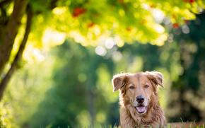 naso, orecchie, Cane da guardia, cane