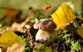 вкусный, грибы, осень, листья, природа, белый гриб, лес