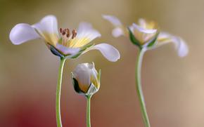 BUD, 背景, 白, 花卉
