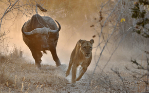 lioness, bull, Africa, chase