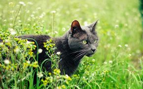 кот, серая, кошка, растения, лето, зеленоглазая, трава