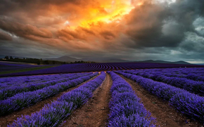 тучи, природа, цветы, лаванда, Австралия, Тасмания, облака, поле
