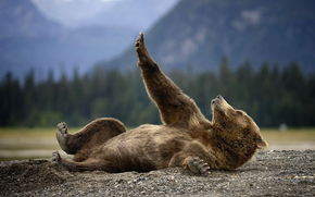 bear, animal, lies, land, nature, Alaska, grizzly, predator