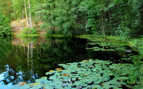 nature, Squads, Russia, Komarovo, photo, lily, lake, petersburg