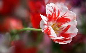 Pétalos, tallo, tulipán