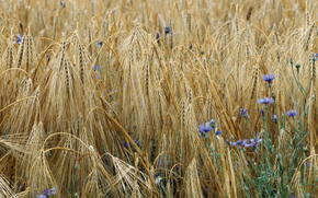 Espiguillas, campo, trigo, acianos, Flores