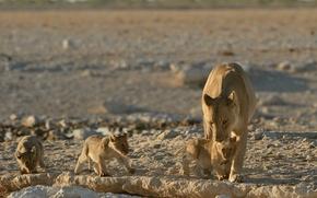 Maternità, bambini, leonessa, Giovane, Gattini, Lions, Cubs