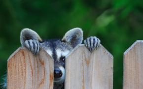 ears, view, raccoon, fence